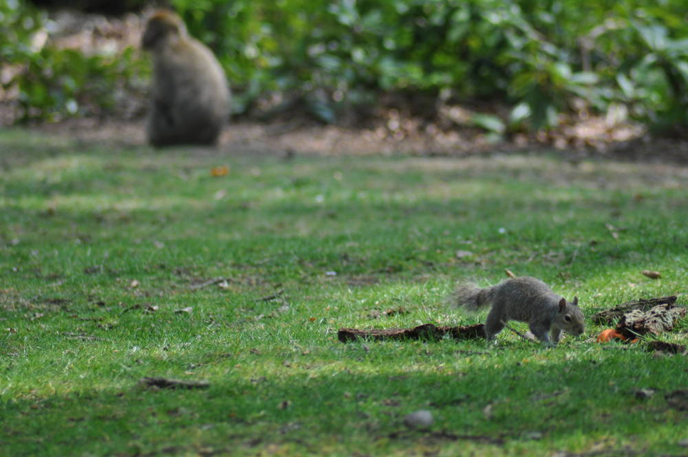Trentham Monkey... Squirrel Forest